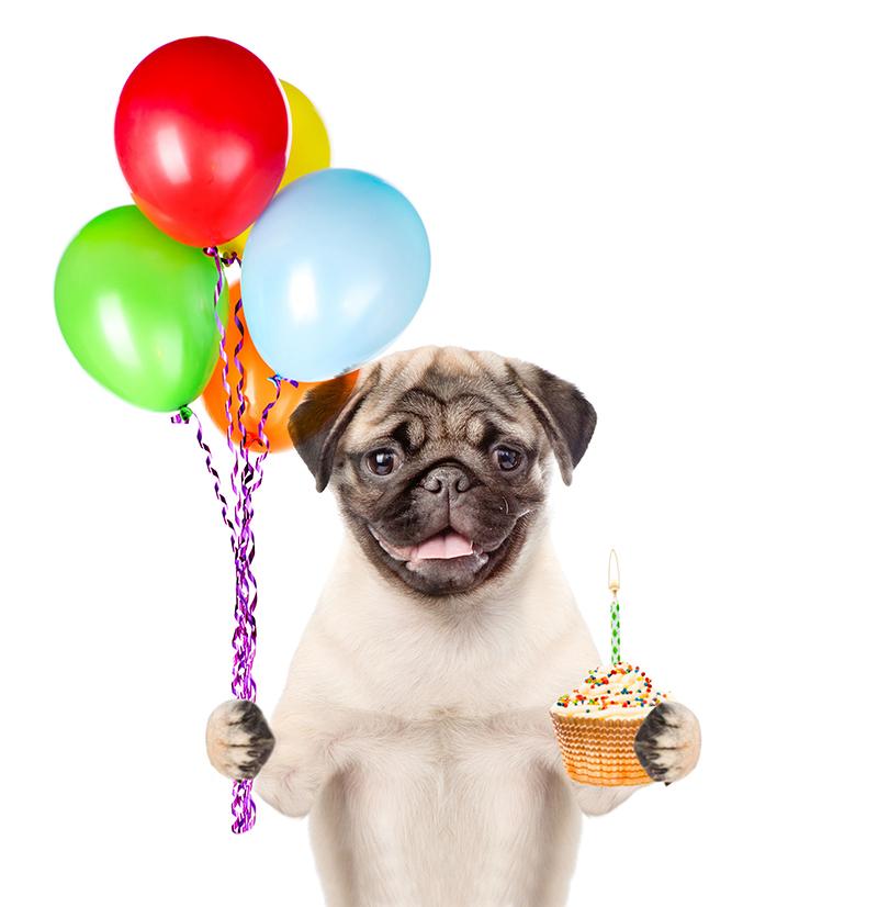 Birthday Pug Stirling Properties